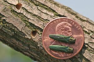 7-3-15-Emerald Ash borer