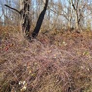 Purpleus planticus, I believe this particular botanical specimen is called. (Loraine says it's black raspberry)