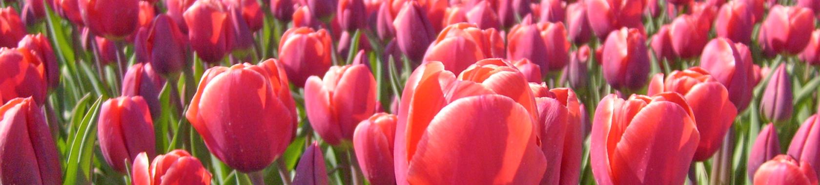 Teas at Two: Tulipimania