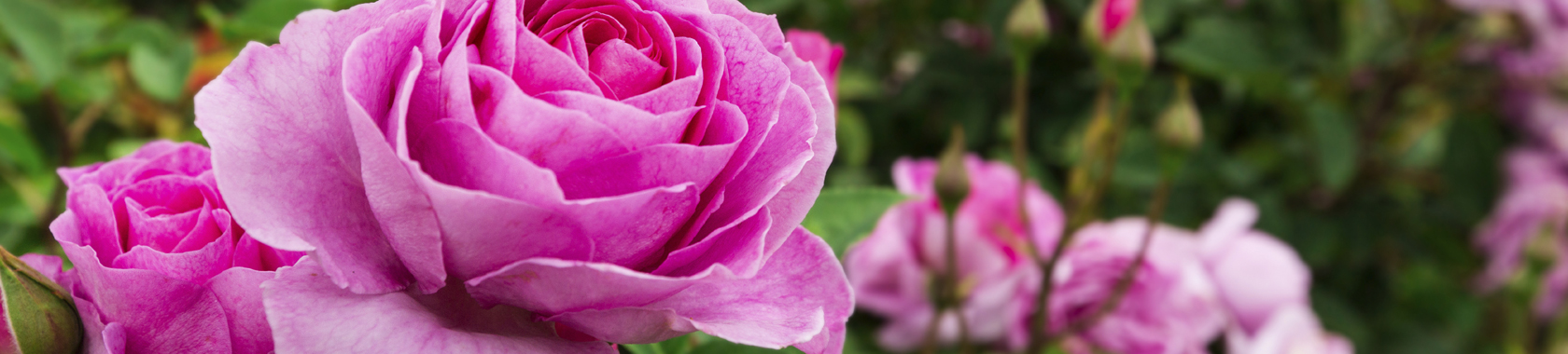 Teas at Two: Mt. Clemens Rose Gardens